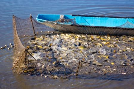 fischerei: Fischernetz voller Karpfen Fisch auf einem Fischfarm, Fotografie gefangen