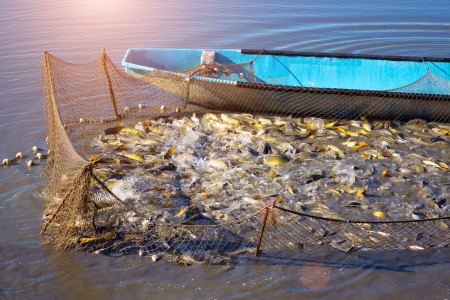 quotas: Fishing net full of Carp fish caught on a fishing farm,photography