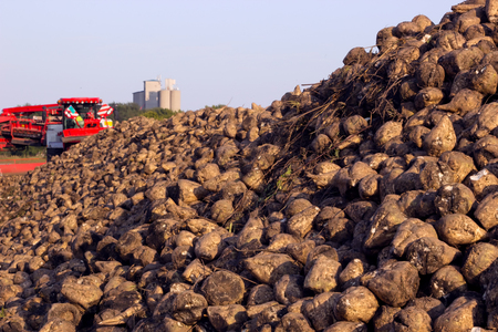 food plant: Sugar beet on field ; Pile of harvested sugar beets and modern agricultural machinery for processing and loading