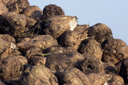 remolacha: El azúcar de remolacha - Cosecha; Pila de la remolacha recolectada en el campo Foto de archivo