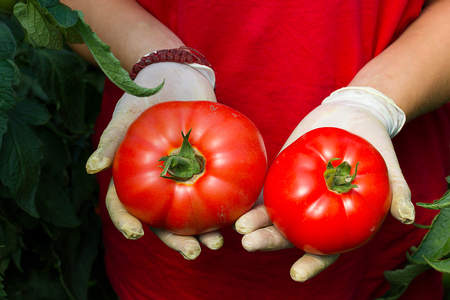 Hands holding tomato harvest ; Farmer holding in the hands of freshly picked tomatoes