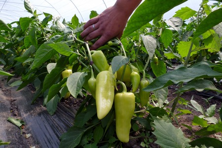 Paprika plant in a greenhouse ; Farmer harvested ripe peppers vegetable in a greenhouse Banco de Imagens