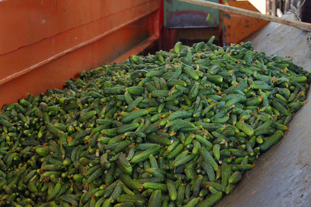 Cucumbers in the processing plant ; A Lot of Raw Cucumbers in processing plant Banco de Imagens