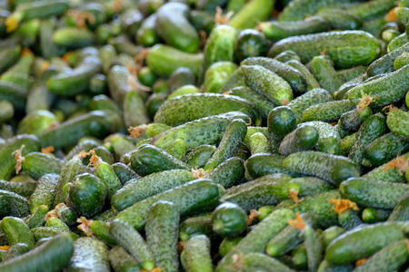 Young green cucumber used for pickling ; A Lot of Raw Cucumbers in processing plant