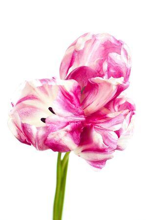 roze en witte tulpen op witte achtergrond, geïsoleerd