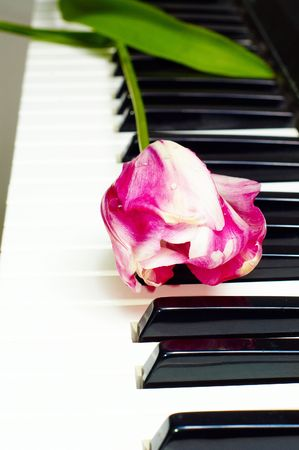 white and pink tulip on piano keys photo