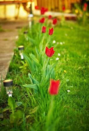 red tulips in a beutiful light