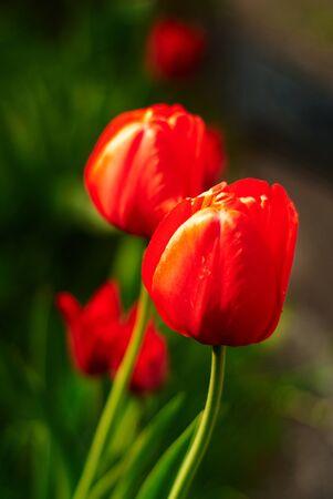 beautiful red tulips close up: tulips Stock Photo