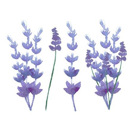 vector watercolor lavender delicate bunch set. pastel nature aromatherapy elements. herb garden plant Ilustrace