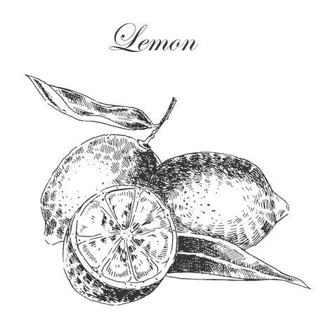 limón: vector de cítricos limón croquis dibujado a mano en tinta y lápiz. ilustraciones botánicas detalladas retro Vectores