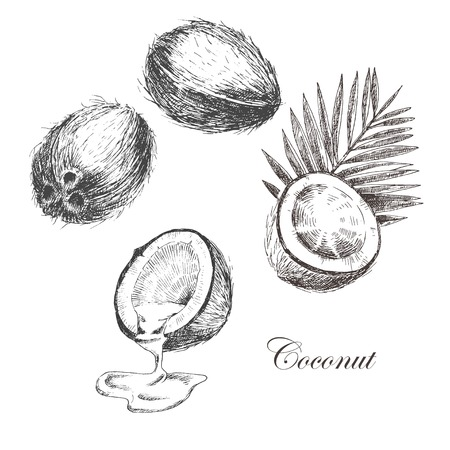 vector coconut hand drawn sketch with palm leaf. vintage style detailed ink and pencil illustrations Illustration