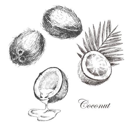 grunge leaf: vector coconut hand drawn sketch with palm leaf. vintage style detailed ink and pencil illustrations Illustration