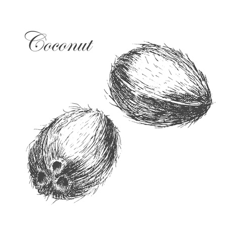 coconut leaves: vector coconut hand drawn sketch with palm leaf. vintage style detailed ink and pencil illustrations Illustration