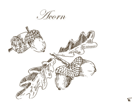 vector ink sketch drawing of autumn acorns and leaves. detailed vintage style illustrations