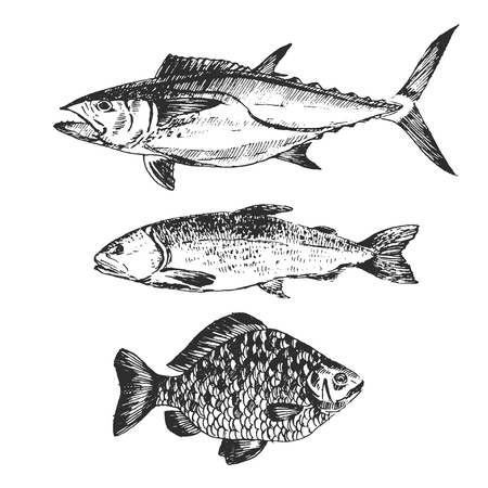 sea water: vector fish sketch drawing - salmon, trout, carp, tuna. hand drawn sea food illustrations
