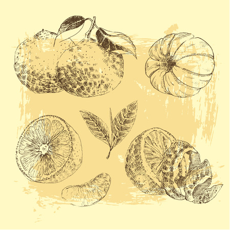 Vintage Ink hand drawn collection of citrus fruit sketch - lemon, tangerine, orange. Vector illustration of highly detailed citrus fruits