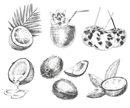 vector coconuts hand drawn sketch with palm leaf. vintage style detailed ink and pencil illustration Ilustracja