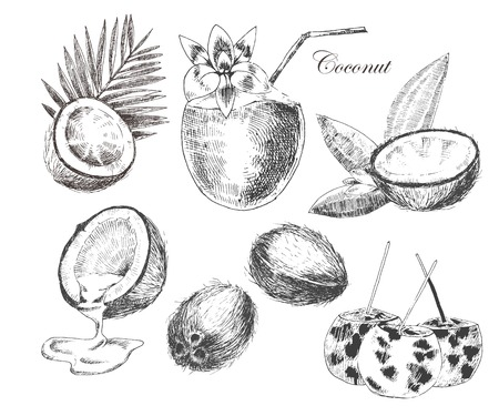 vector kokosnoten hand getekende schets met een palmblad. vintage stijl gedetailleerde inkt en potlood illustraties