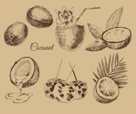 vector coconuts hand drawn sketch with palm leaf. vintage style detailed ink and pencil illustrations Ilustracja