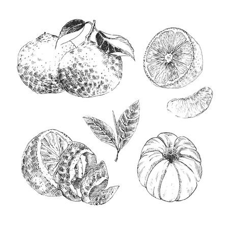 Vintage Ink collection of citrus fruits sketch - lemon, tangerine, orange