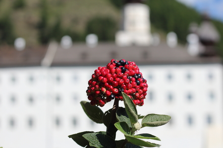 Sun-shining rowanberry, in the background a white building