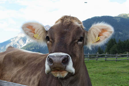 A portrait of a cow grazing