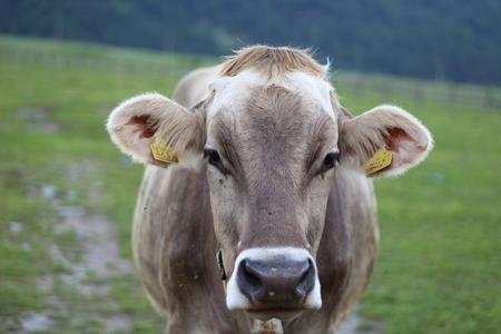 A portrait of a cow grazing