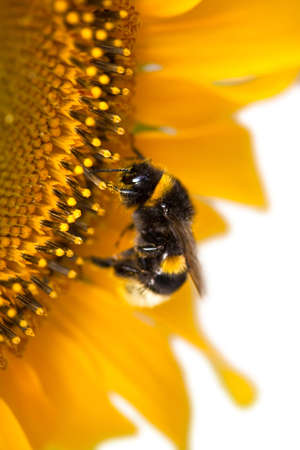 Bumblebee on a sunflower on a white background photo