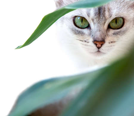 cat eyes: Green eyes of the Abyssinian cat sitting in a greenery