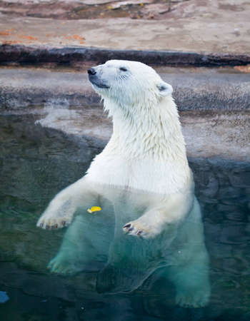 wet bear: The Polar bear sitting in blue water