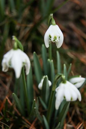 A group of snowdrops in a springtime garden Stock Photo