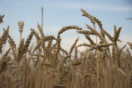 Close-up of individual grain stalks in the evening