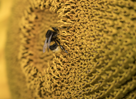 close up as the bee pollinates this giant sunflower