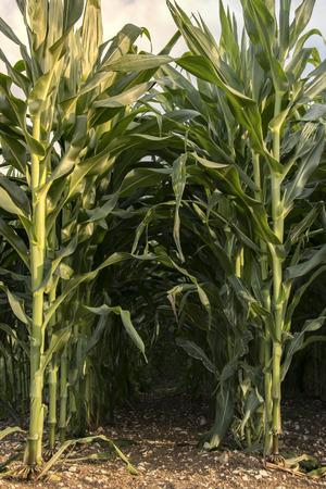 two beautiful maize rows in a large field Zdjęcie Seryjne