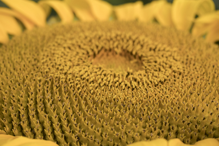 Closeup of a big yellow sunflower in the evening mood