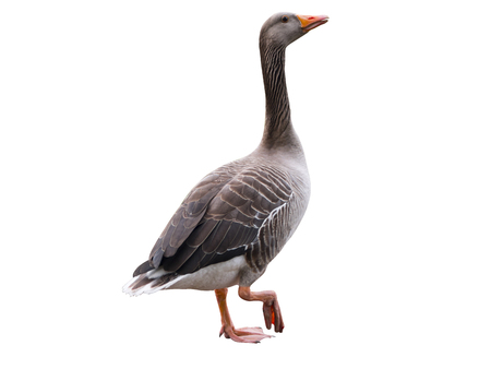 a gray goose isolades on a white background Zdjęcie Seryjne