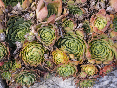 some green succulents