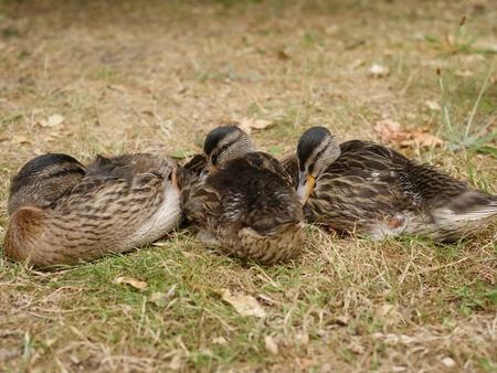 a mallard with her children