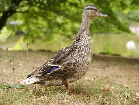 a mallard on the meadow