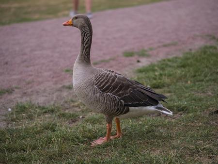 a wild grey goose