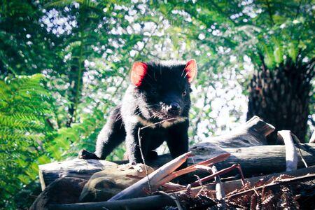 scavenger: Tasmanian devil Stock Photo