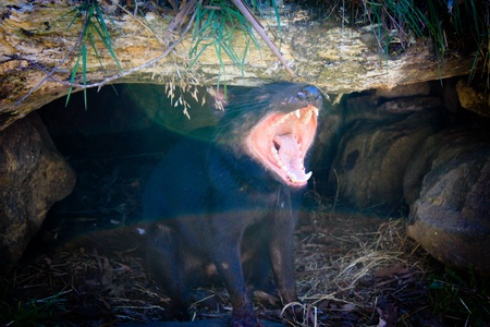taz: Tasmanian devil Stock Photo