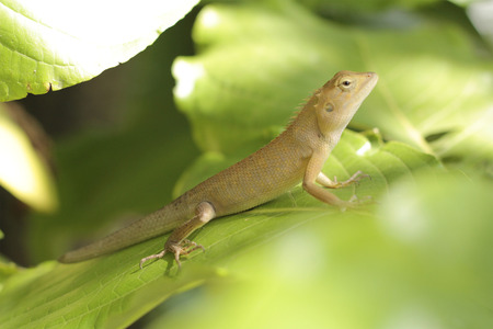 species of creeper: yellow chameleon fully on tree Stock Photo