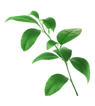 Citrus bladeren geïsoleerd op een witte achtergrond Stockfoto - 27417184