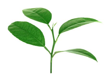 Citrus bladeren geïsoleerd op een witte achtergrond Stockfoto