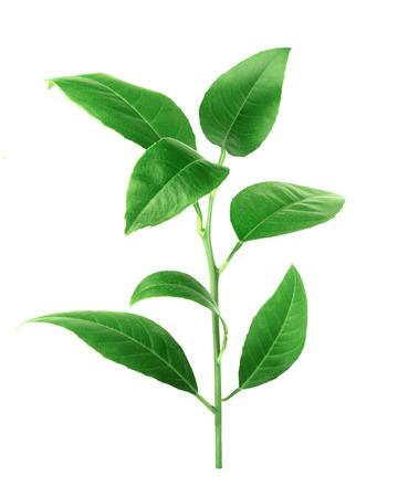 Citrus leaves isolated on a white background Reklamní fotografie