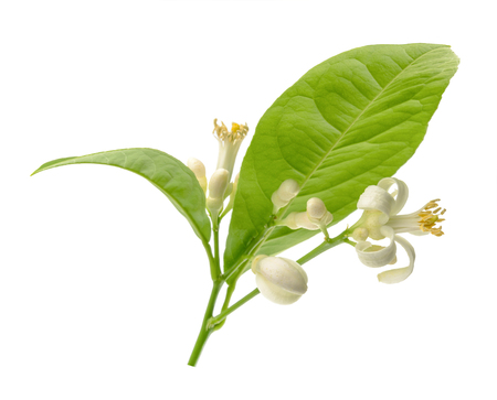 citrus tree: Branch of a lemon tree with flowers Isolated on white