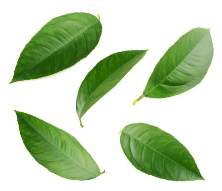 Citroen bladeren geïsoleerd op een witte achtergrond Stockfoto