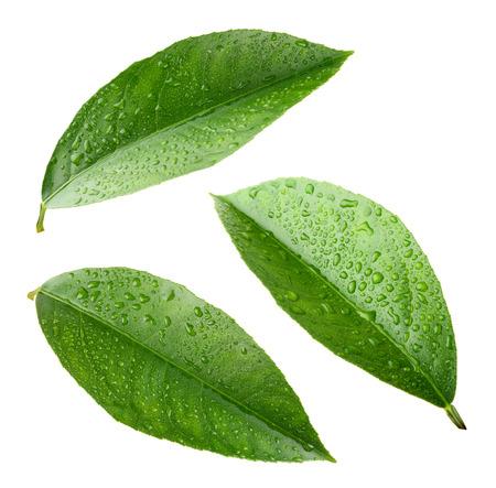 Lemon bladeren met druppels op wit wordt geïsoleerd