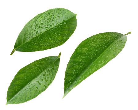 Citroen bladeren met druppels op wit wordt geïsoleerd Stockfoto